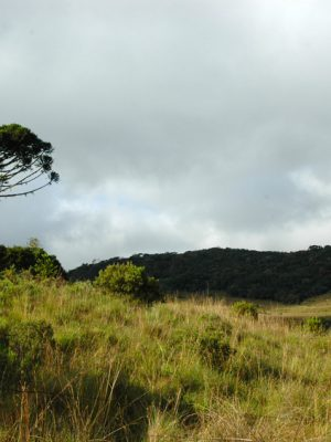 Araucaria moist forest in Aparados da Serra National Park, Brazil